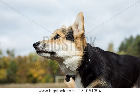 Portrait of a Welsh Corgi. View from the bottom.