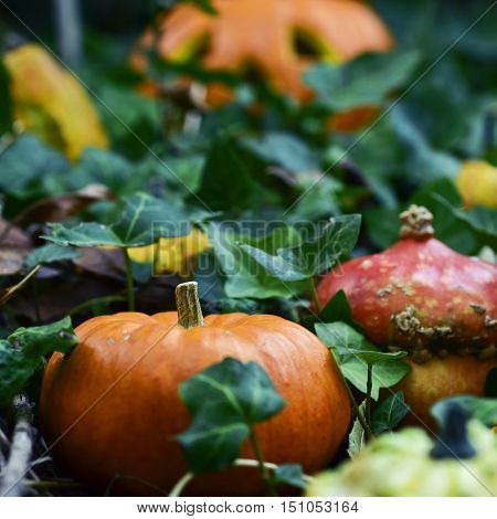 closeup of some different pumpkins in the garden or in the woods surrounded by ivy leaves and a carved pumpkin in the background