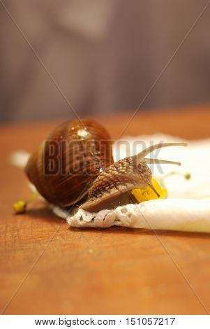 Burgundy snail, Helix pomatia, on a wooden table in the room