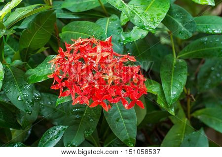 Red Ixora with water drops after raining.