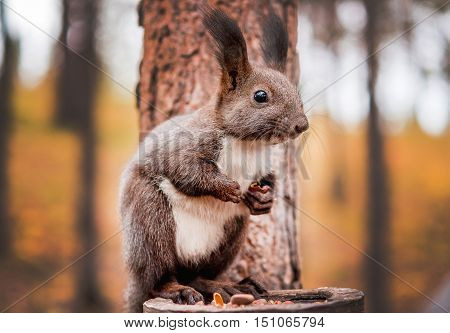 Red squirrel on a stump eating nuts