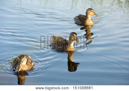 Wild Ducks Swimming On The Lake