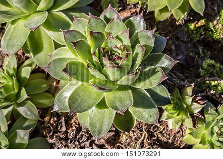 Sempervivum tectorum, Houseleek. Plant on the roof on natural light