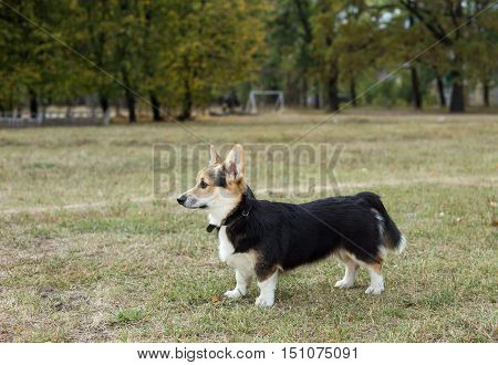 Dog belongs to the breed Welsh Corgi. Dog stands in profile to the camera. The photo was taken in the morning.