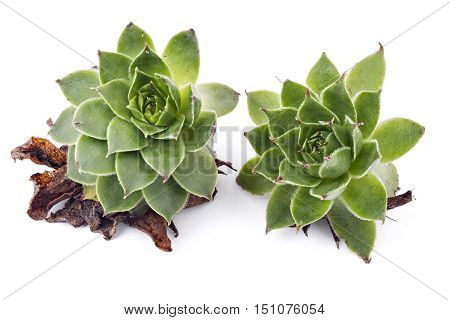 Sempervivum tectorum, Houseleek. Plant on the white background