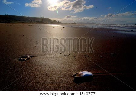 Beach Jelly Fish Cuttlefish