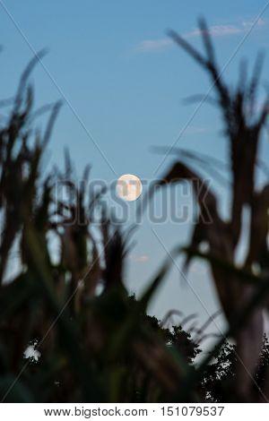 A full moon at dusk as seen through corn stalks at dusk.