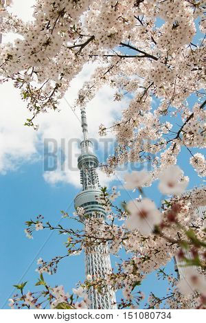 sakura or cherry blossom foreground with the tower