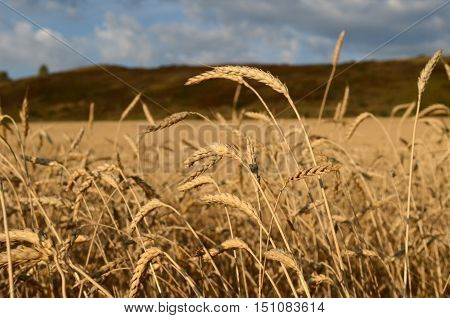 the earing field of wheat close up