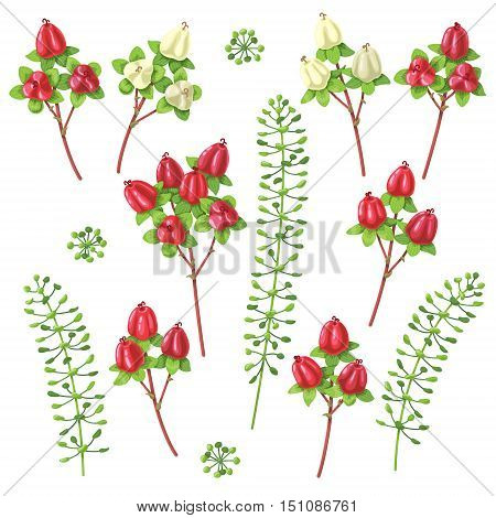 Set of berries and floral elements isolated on white. Hipericum plant with red and yellow berry. Bouquet components.