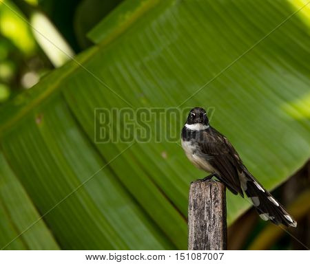 Blac bird looking you on wood in the morning