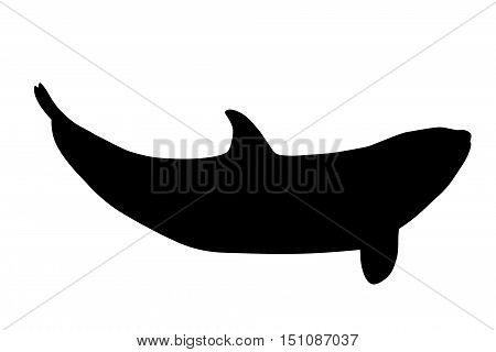 A backlight of killer whale, Orcinus Orca, isolated on white background.