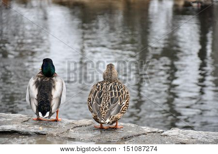 Male And Female Mallard Couple Overlooking Creek