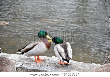 Two Male Mallards Grooming Each Other