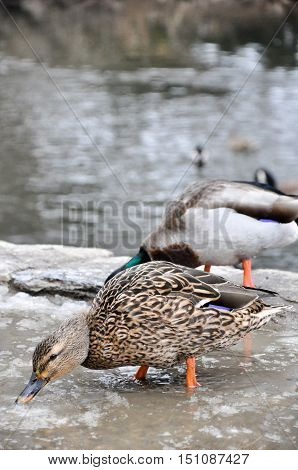Female Mallard Searches For Food In Melting Snow