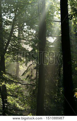 the sun breaks through the mysterious hazy dense dark forest
