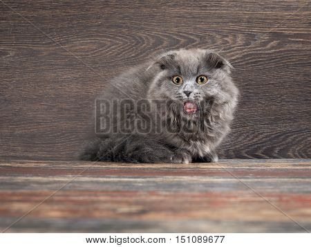 Funny frightened gray kitten with open mouth and big round eyes