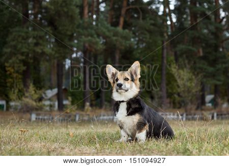 Welsh Corgi. Dog obediently sitting and waiting for commands.