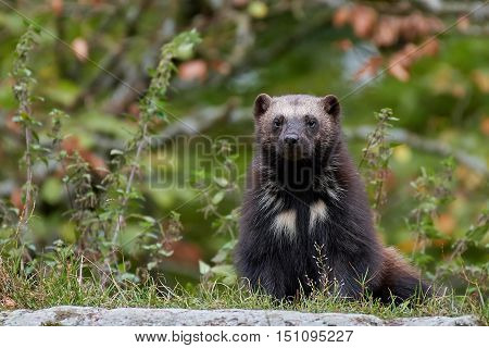 Wolverine (Gulo gulo) resting with vegetaion in the background