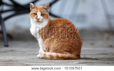 Orange cat sitting on an old wood deck.