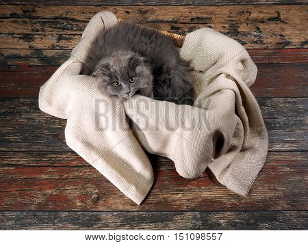Gray fluffy kitten lies in a box on the rug. Old wooden floor. View from above. We kitten big round yellow eyes