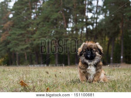 Pekingese sits obediently and waits for a new command. Dog is walking in the autumn park.
