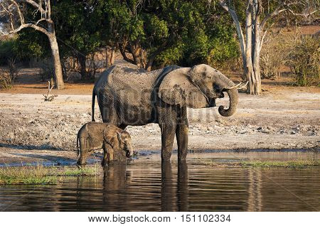 One elephant and its cub drinking water in the Chobe River Chobe National Park in Botswana Africa