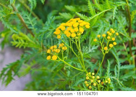 Yellow tansy flower growing on the meadow