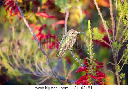 Anna's Hummingbird (Calypte anna) perched on a branch in a colorful garden. Santa Cruz, California, USA.