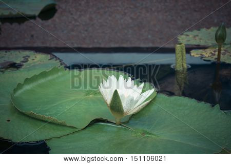 Lotus Flower White Color