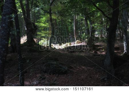 Magic dark beech forest in the summer with clearings
