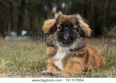 Pekingese. Dog shows the tongue. Dog obediently posing for a photograph.