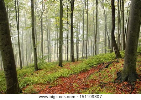 Autumn beech forest in foggy weather .