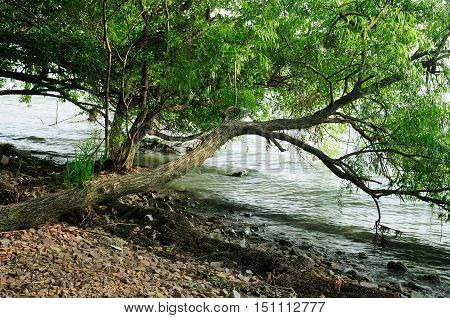 A tree leaning out over the waters of Lake Tai Taihu in Wuxi China in Jiangso province.