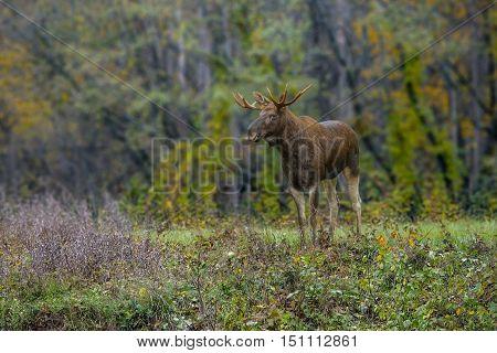 closeup a large elk walks on a green glade near a forest
