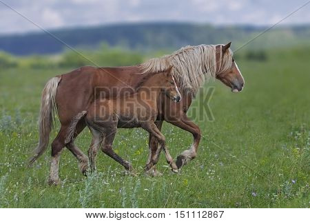 closeup a horse grazing in a field with young stallions near a forest