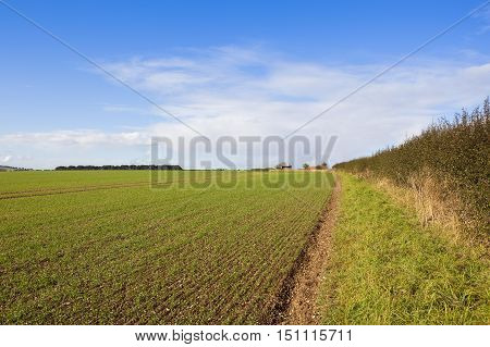 Young Wheat And Hedgerow