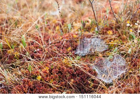 Small spider web nests on a misty morning in an autumnal peatland