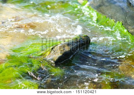 slippery rock in moving water with green algae