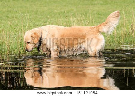 golden retriver dog in a river lake with mirror effect