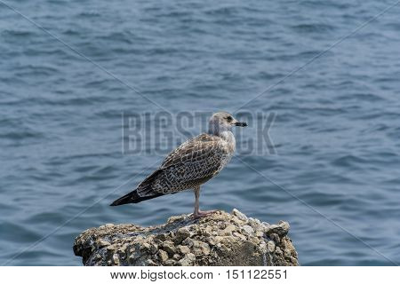 Young seagull on a rock with water as background.