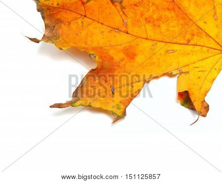 Part Of Autumn Dried Maple-leaf