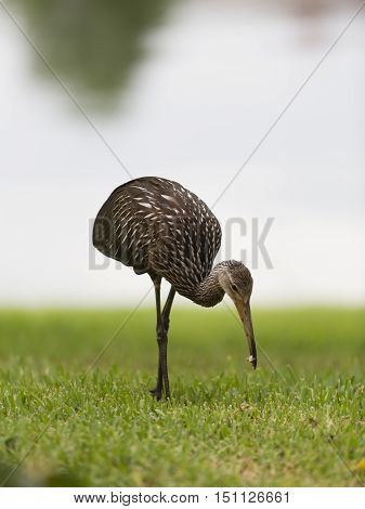 Limpkin or courlan foraging on grass with a snail in its bill a wading water bird of tropical American marshes including the everglades in Florida