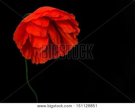 dull wild poppy on a black background.