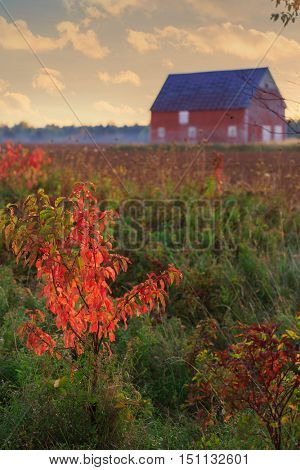 Brilliant fall foliage of a small pin cherry tree with a barn and plowed field in the distance.