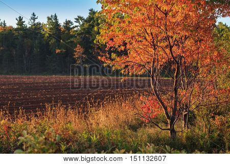 Brilliant fall foliage of a pin cherry against a plowed field in rural Prince Edward Island, Canada.