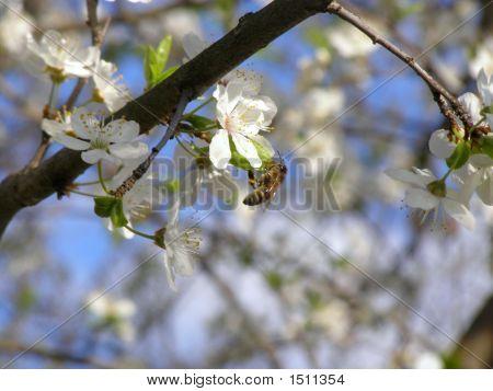 Spring Blossom Cherry Tree