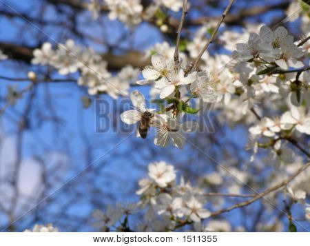 Springblossomcherrytree