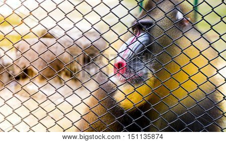 Mandrill Baboon monkey behind a cage copy space