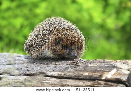 adult wilde Eastern European hedgehog (Erinaceus concolor) on the rotten log